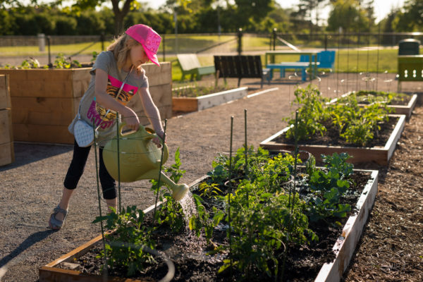 Girl uses watering can to water and care for growing vegetables in family garden plot